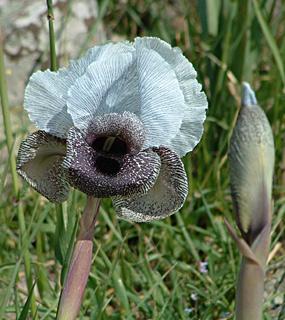 Mt. Hermon Iris