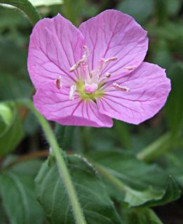 Pink Evning Primose