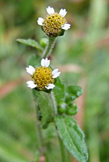 Small flower Galinsoga, Joly Hooker