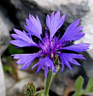 Syrian Cornflower-thistle, Knapweed