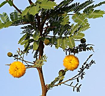 Sweet Acacia, Needle bush
