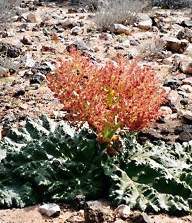 Desert Rhubarb