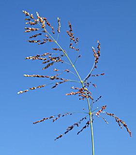 Guinea grass