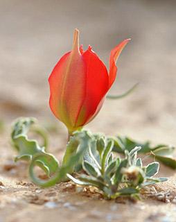 צבעוני  המדבר
