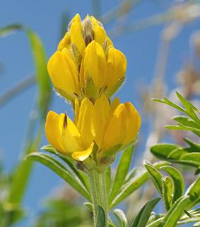 תורמוס  צהוב