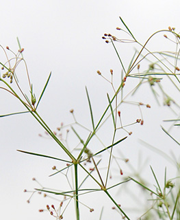Thin Bedstraw