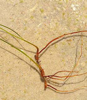 Tube seagrass