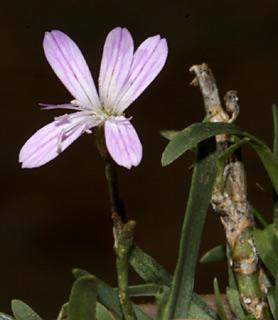 צפורן  קטן-פרחים