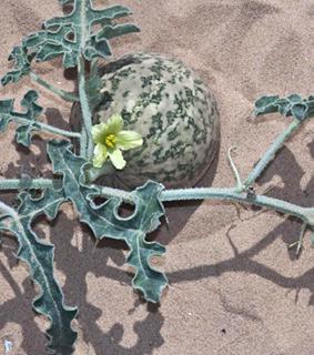 Bitter Gourd vine of Sodom, bitter apple