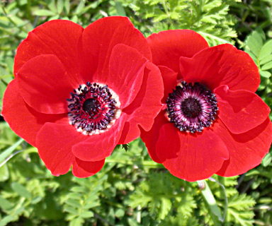 Crown Anemone