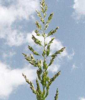 סיסנית  הביצות