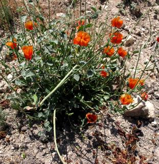Aleppo horned poppy