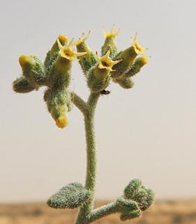 Heliotropium digynum