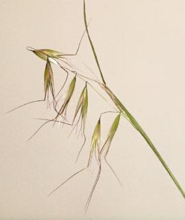 Slender wild oat