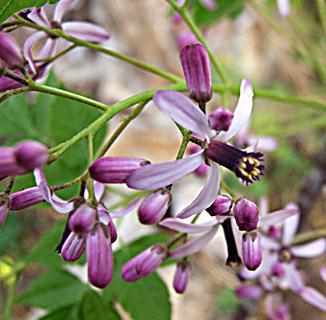 Bead-tree, Indian lilac