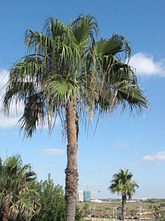 Mexican Fan Palm, Skyduster