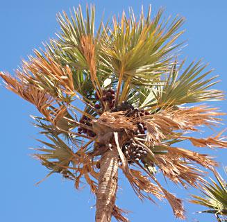 Doum Palm, Ginger Bread Tree