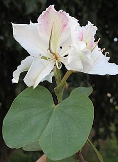 בוהיניה מגוונת זן לבן