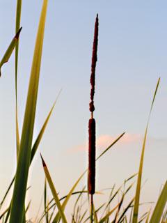 Elephant Grass