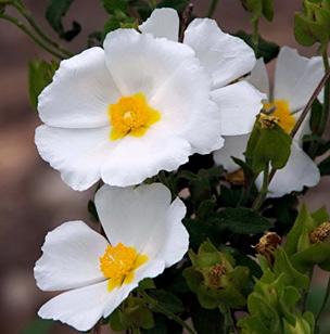 Sage-Leaved Rock Rose