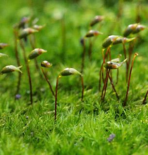Tender Feather-moss