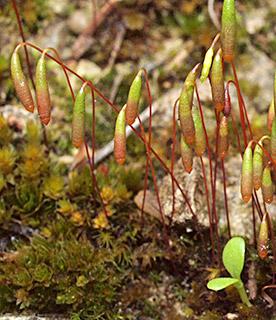 Capillary Thread-moss