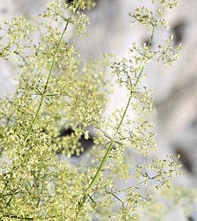 Galium libanoticum