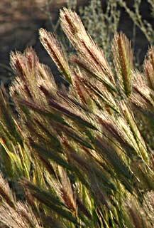 Wall Barley