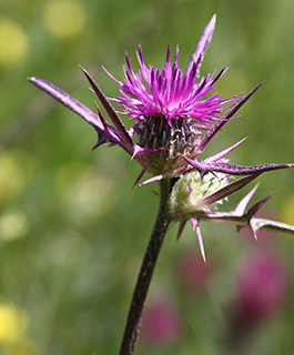 Syrian Thistle