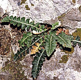 Scaly spleenwort
