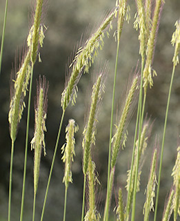 Bulbous Barley