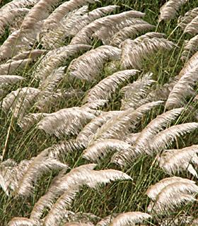 Egyptian Sugar Cane