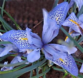Histrio Iris