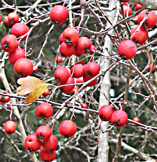 One-seed Sawthorn