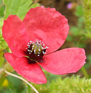 Prickly Round-Headed Poppy