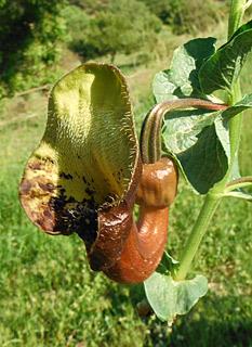 Moorish Birthwort