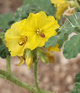 Yellow nightshade, Buffalobur