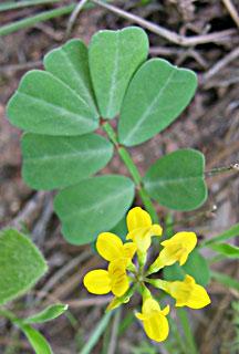 Yellow Crown-vetch