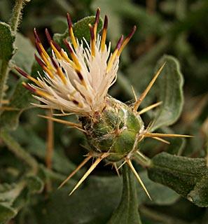 Knapweed, Cornflower