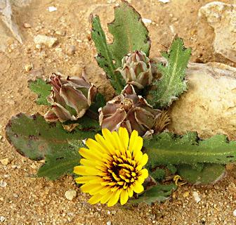 Poppy-Leaved Reichardia