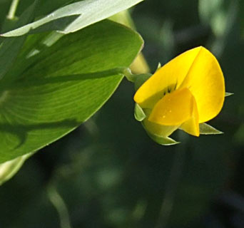 Yellow Vetchling