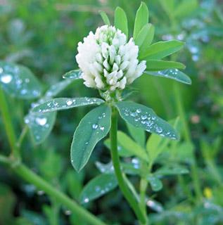 Egyptian Clover, Berseem Clover (trifolium Alexandrinum), Blooming ...