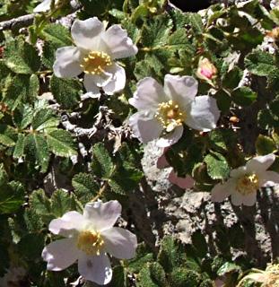 ורד דביק