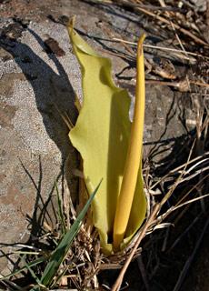 Yellow biarum