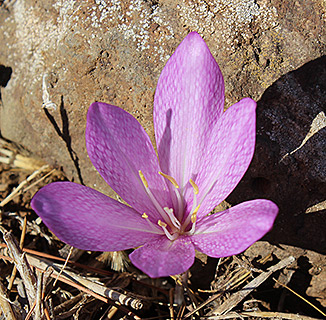 Feinbrun's Autumn Crocus