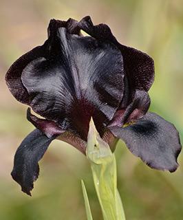 Judean Iris