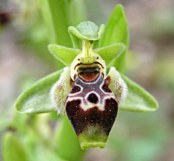 Carmel Bee-Orchid