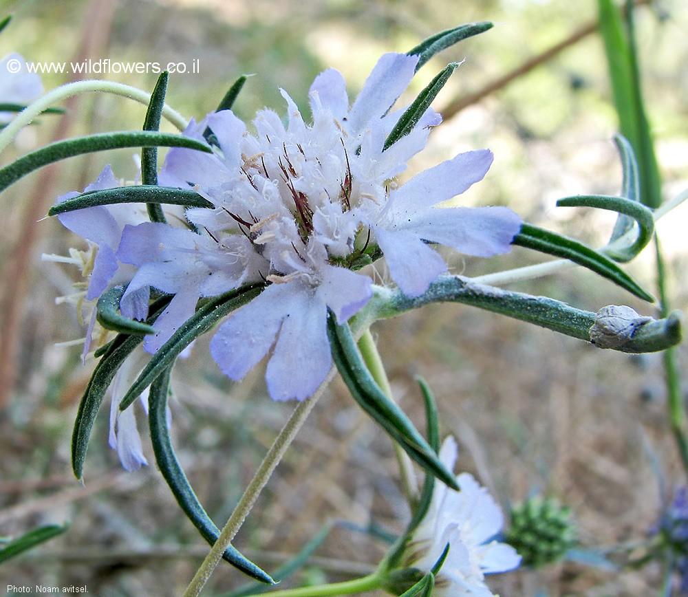 Schede botaniche - Forum Acta Plantarum