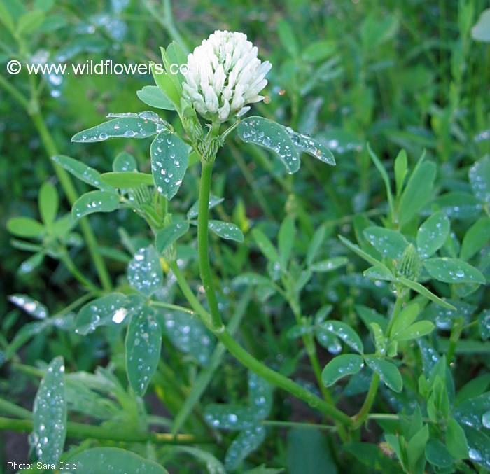 Egyptian clover - 17585 - English common name - Trifolium alexandrinum