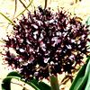 Allium rothii